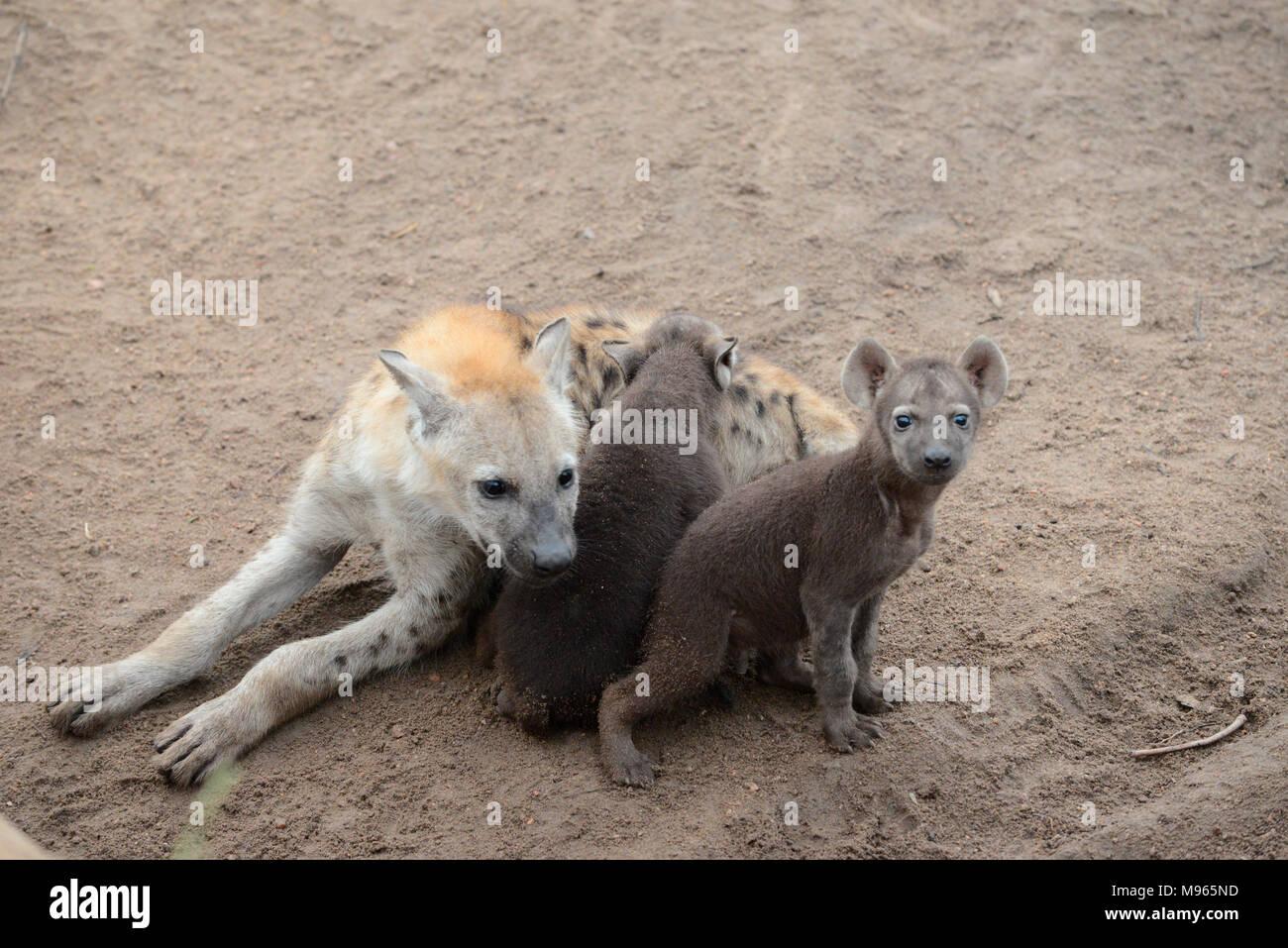 Südafrika ist ein beliebtes Reiseziel für seine Mischung aus echten afrikanischen und europäischen Erfahrungen. Kruger Park saugen Hyäne Welpen. Stockfoto