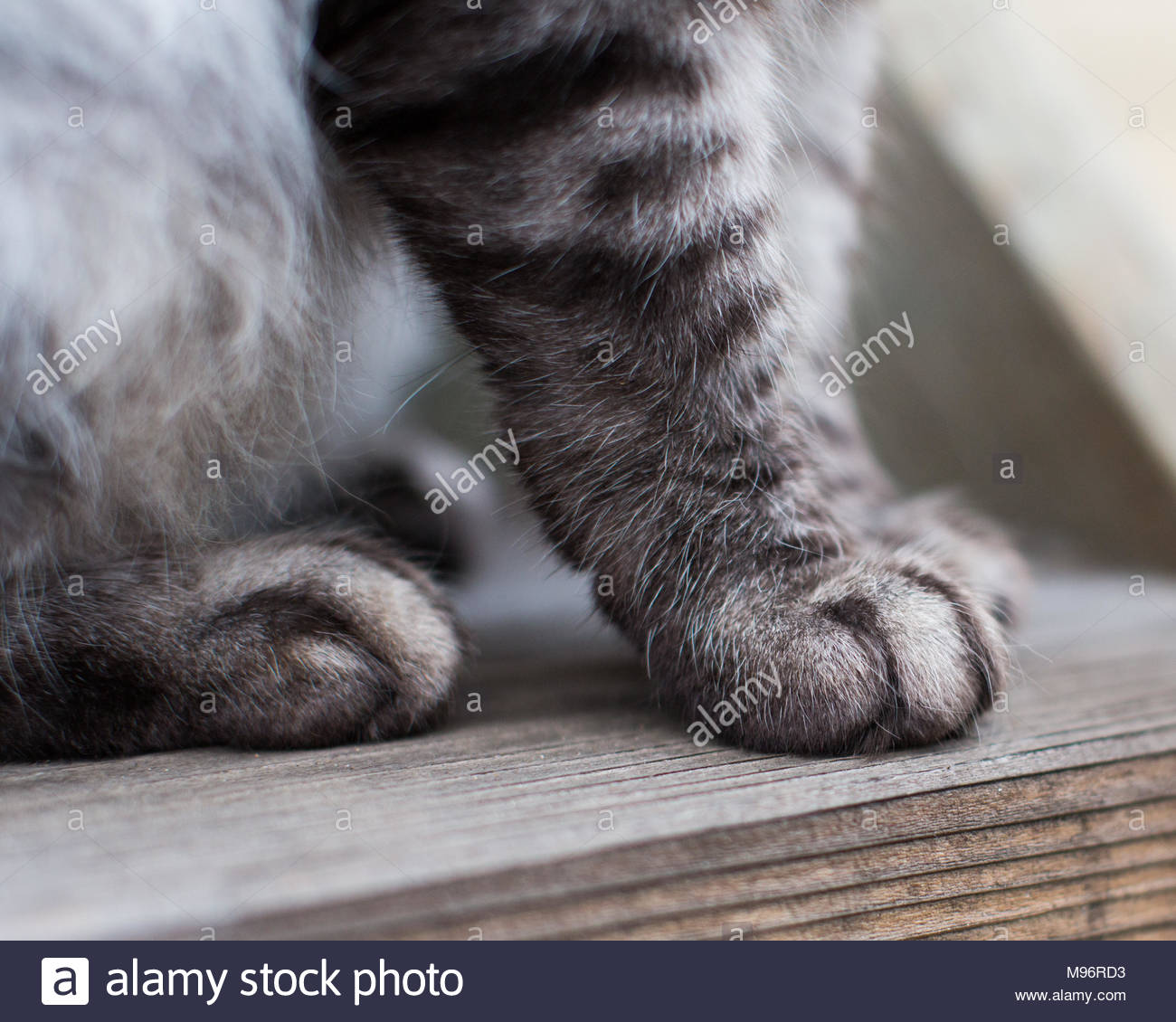 In der Nähe von Grau gestreiften Tabby cat Pfoten sitzen auf Holz- Schritt Stockbild