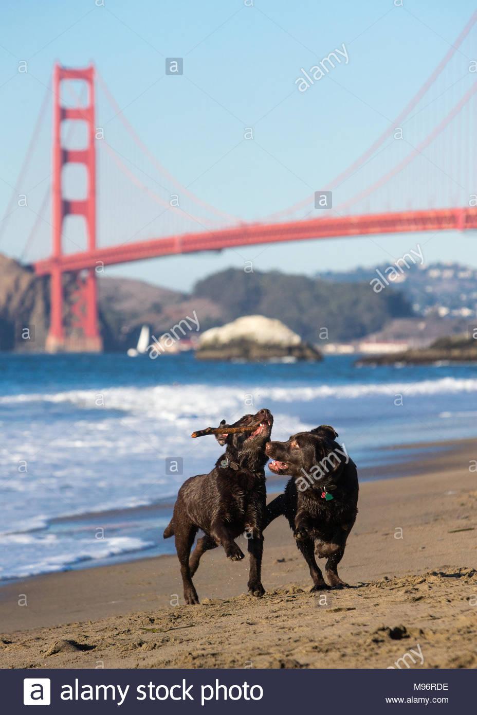 Chocolate Labrador Retriever auf Strand vor der Golden Gate Bridge mit einem Stock Stockbild