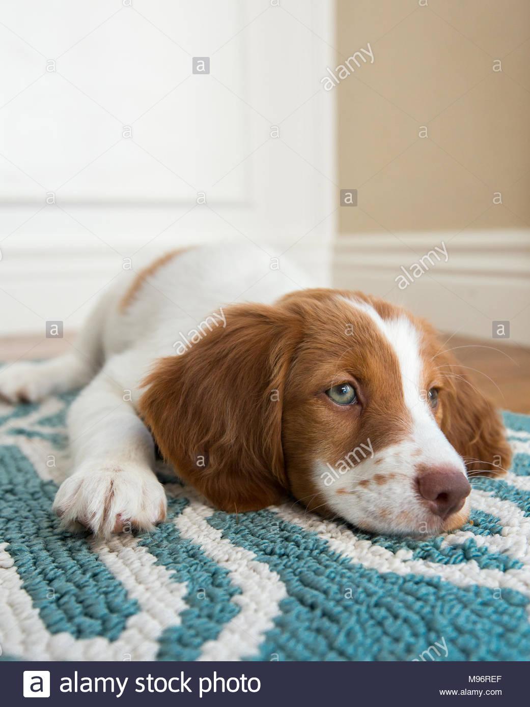 Cute Brittany Spaniel Welpen mit blauen Augen lügen auf blaue und weiße Wolldecke mit Kinn auf dem Boden Stockbild