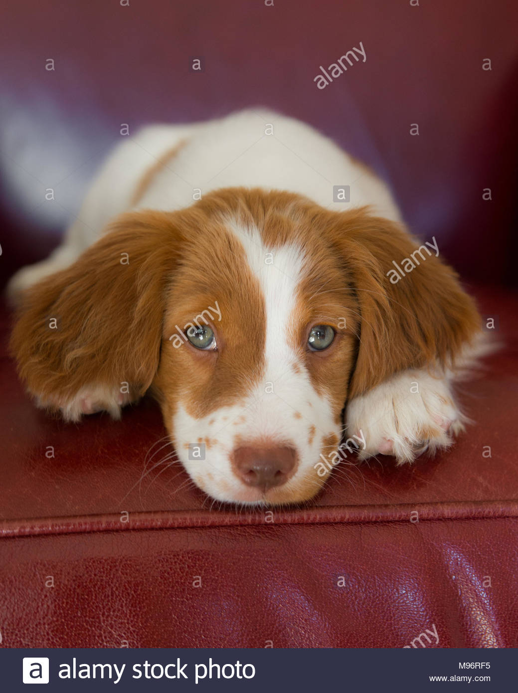 Braune und weiße Brittany Spaniel Welpen mit blauen Augen ihren Kopf auf die Pfoten und schauen in die Kamera Stockbild