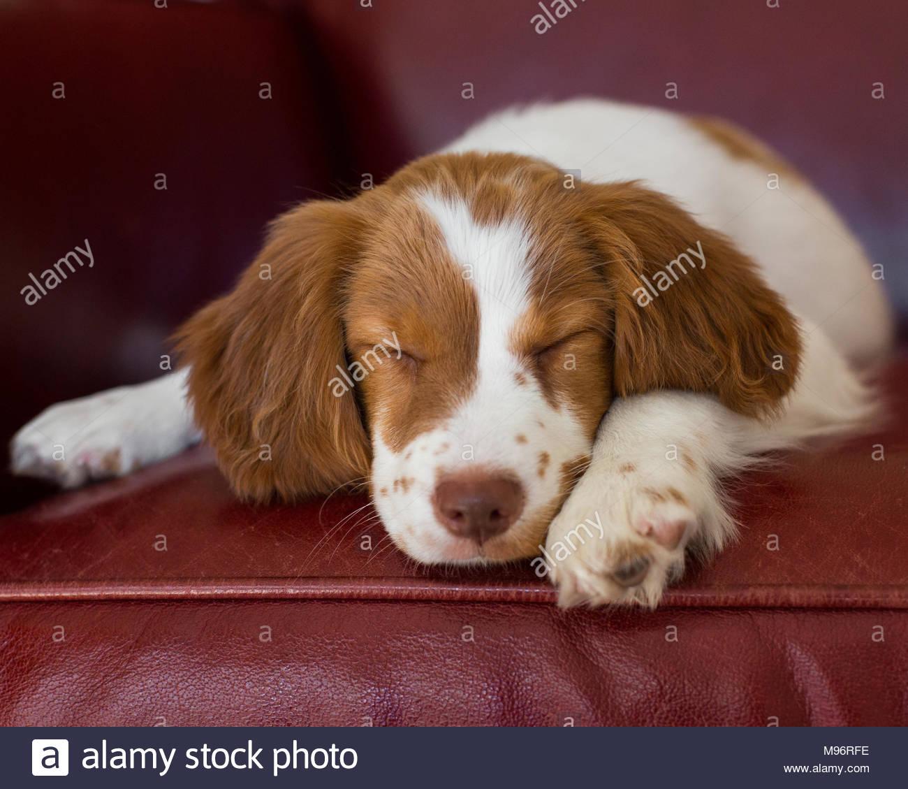 Braune und weiße Brittany Spaniel schlafen auf einem roten Ledersessel Stockbild