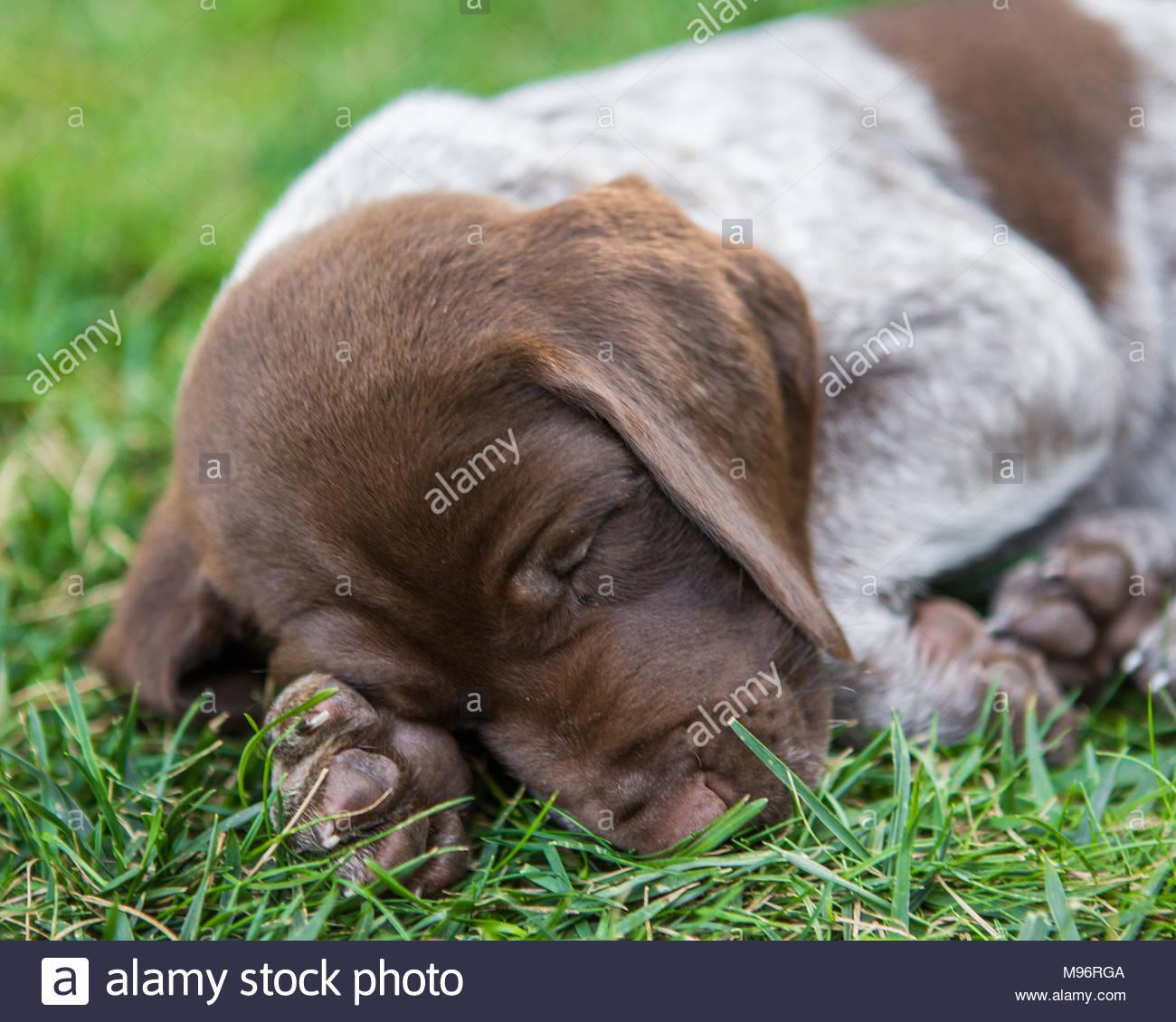 Close-up von schlafenden braune und weiße Welpe mit mit seinen Kopf auf seine Pfote im Gras Stockbild