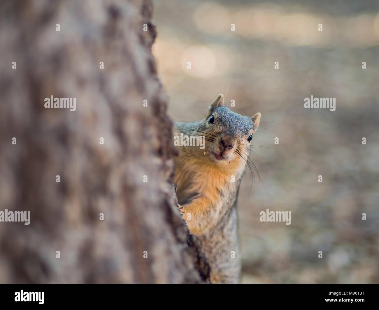Nahaufnahme von einem niedlichen Eichhörnchen, Foto fand in Los Angeles Stockbild