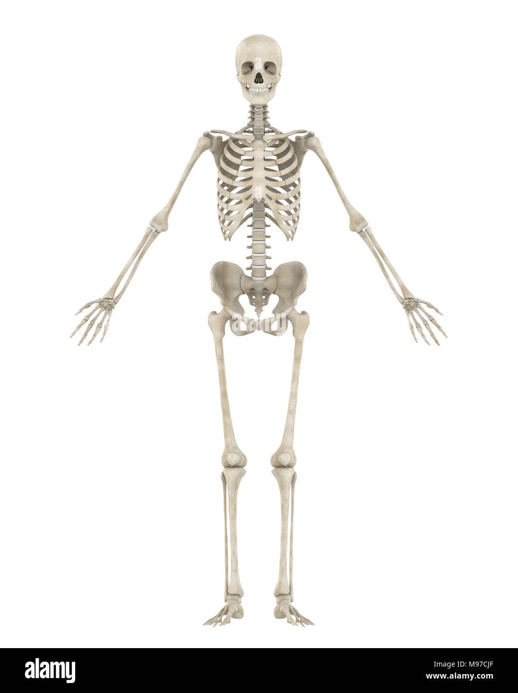 Bone System Stockfotos & Bone System Bilder - Alamy