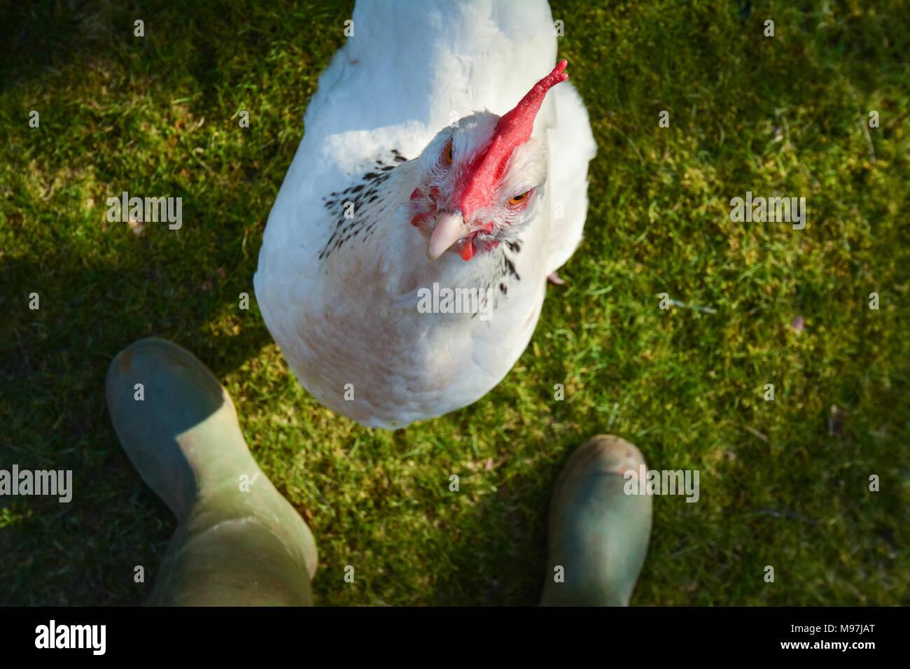 Licht Sussex Huhn zu Eigentümer Stockbild