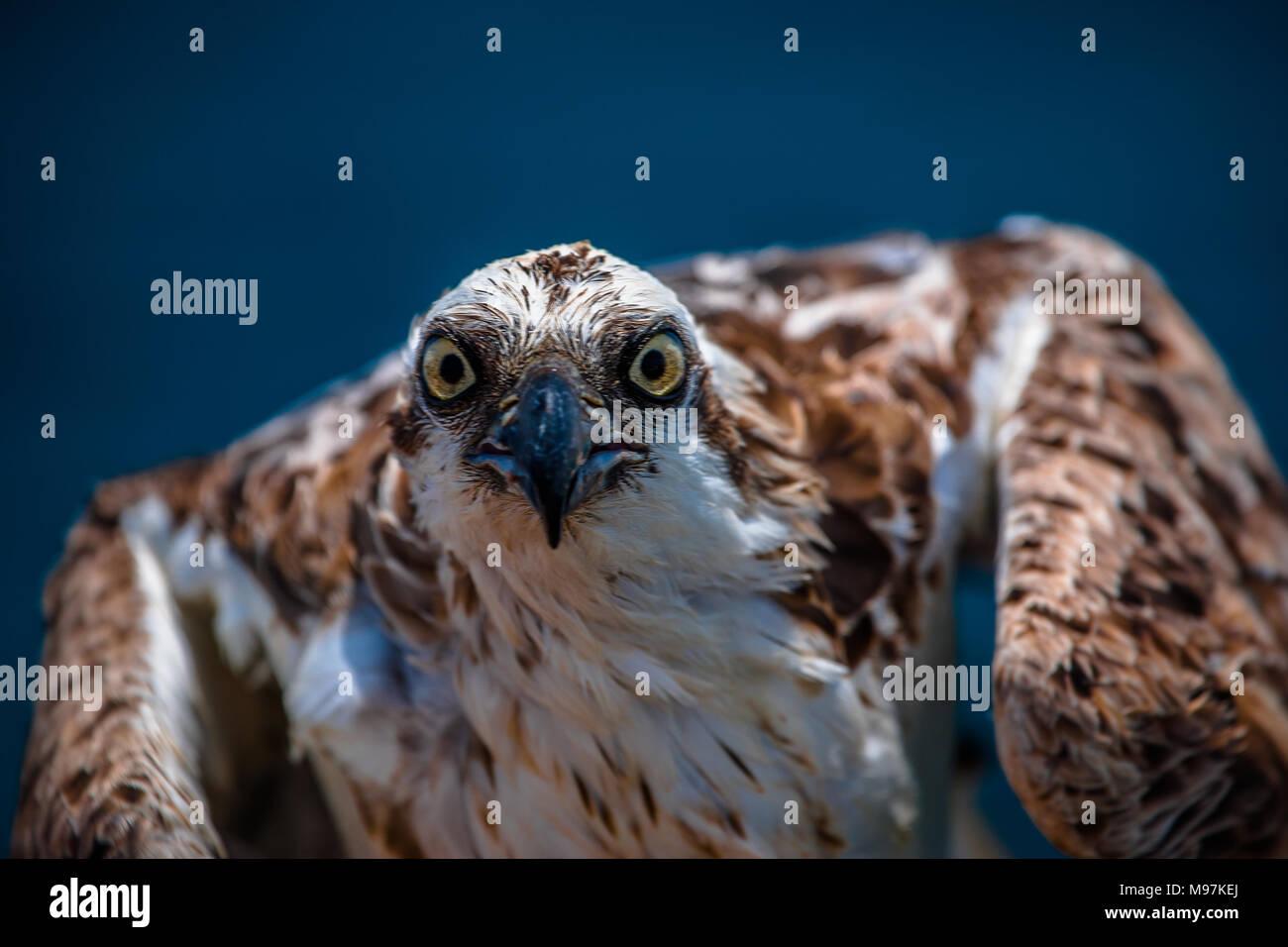 Eine verärgerte Suchen osprey Eagle starrt sie die Linse, Rotes Meer, Ägypten Stockbild