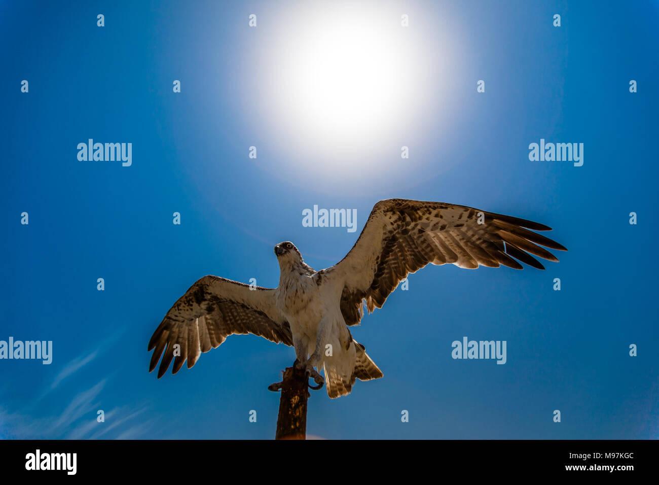 Eine osprey Adler saß auf Zaunpfosten breitet seine Flügel Flug zu nehmen. Stockbild