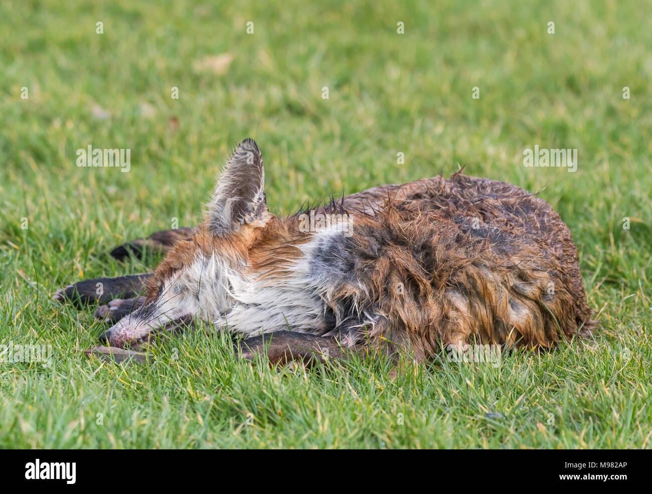 Vor kurzem fox Festlegung tot auf Gras von einem Straßenrand in Großbritannien getötet. Stockbild