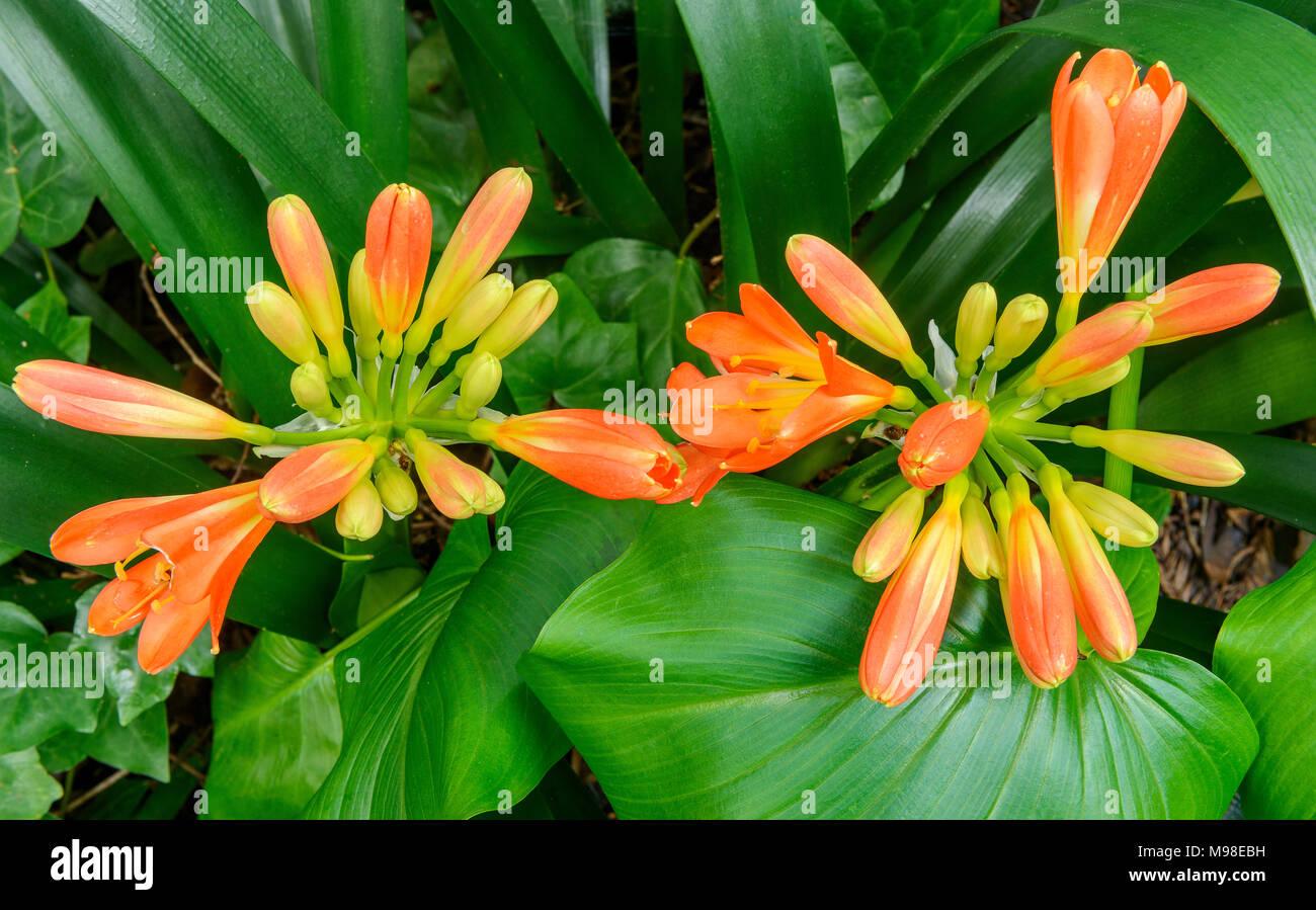 Clivia, der Amaryllidaceae, Kaffir Lily, Zypressen Garten, Mill Valley, Kalifornien Stockbild
