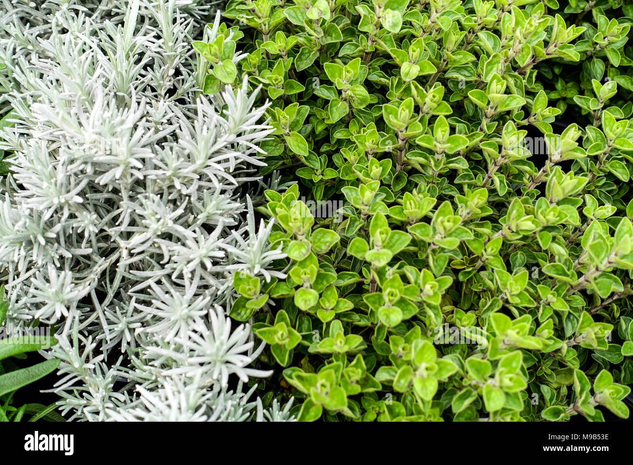 Kräuter in der Küche, Oregano und Cury pflanze Helichrysum ...