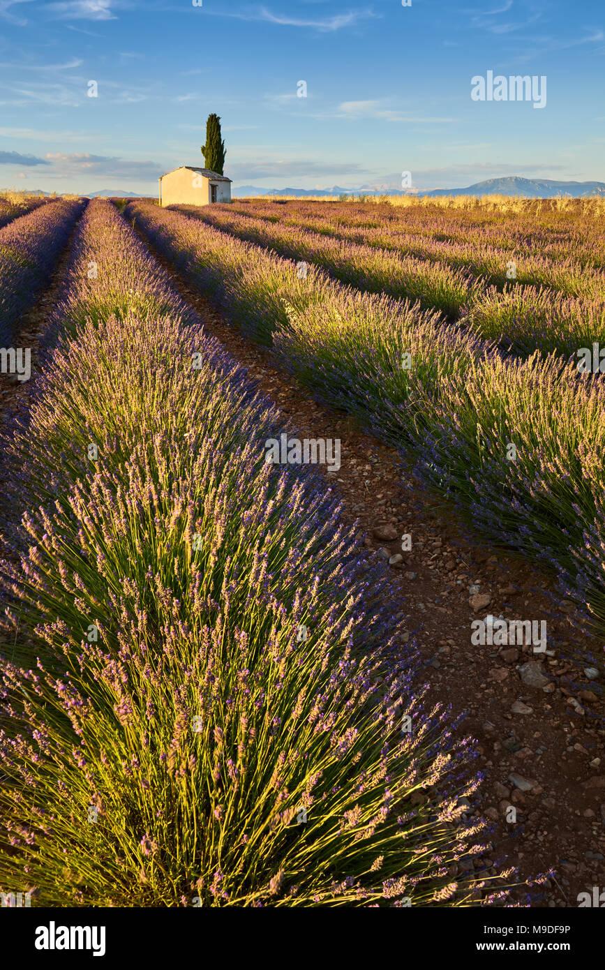 Lavendelfelder von Valensole mit cyperss Baum und Haus im Sommer bei Sonnenuntergang. Alpes de Haute Provence, Region PACA, Frankreich Stockbild