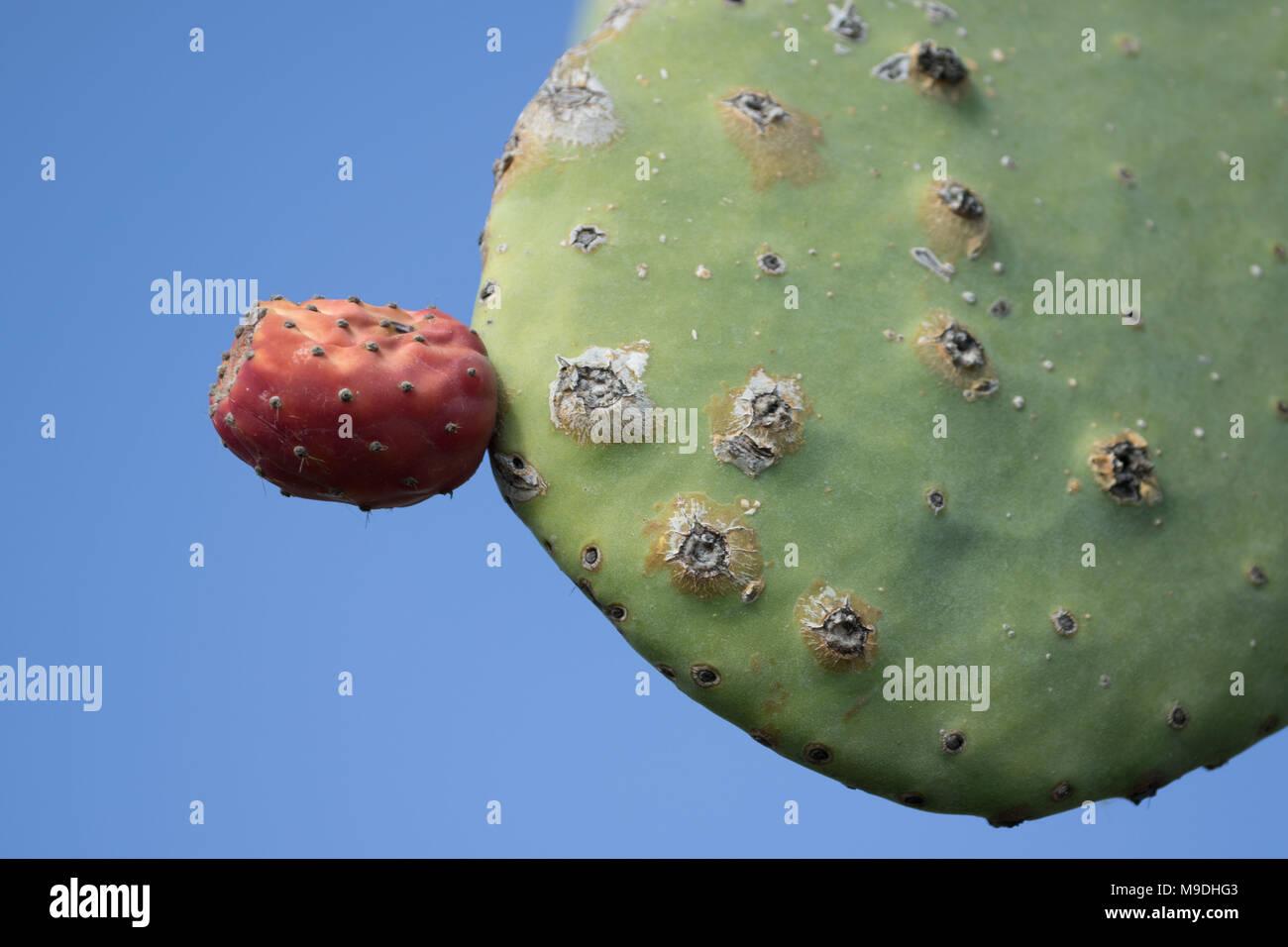 Feigenkaktus (Opuntia) cactus Paddel und rote Früchte vor blauem Himmel in Paphos District von Zypern, Mittelmeer, Europa Stockbild