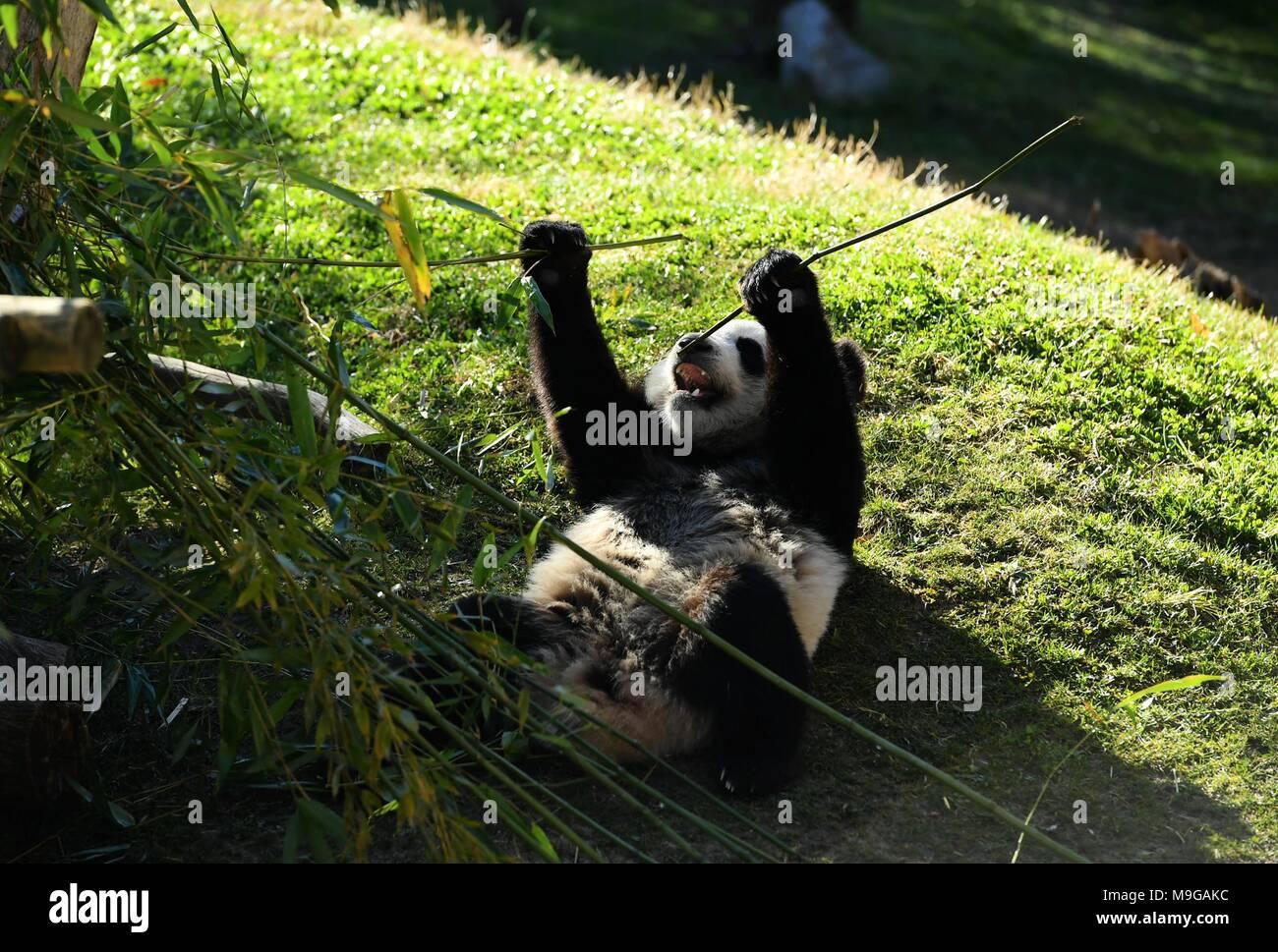 180326 Madrid 26 Marz 2018 Xinhua Die Baby Panda Chulina