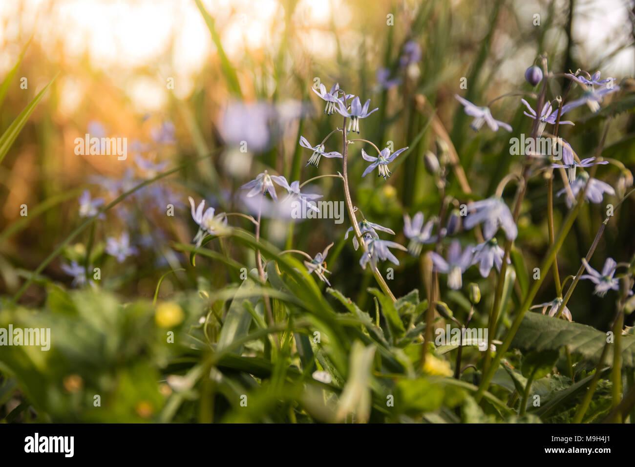 Scilla siberica Frühling Schönheit im Wald. Der Frühling ist vor der Tür. Stockbild