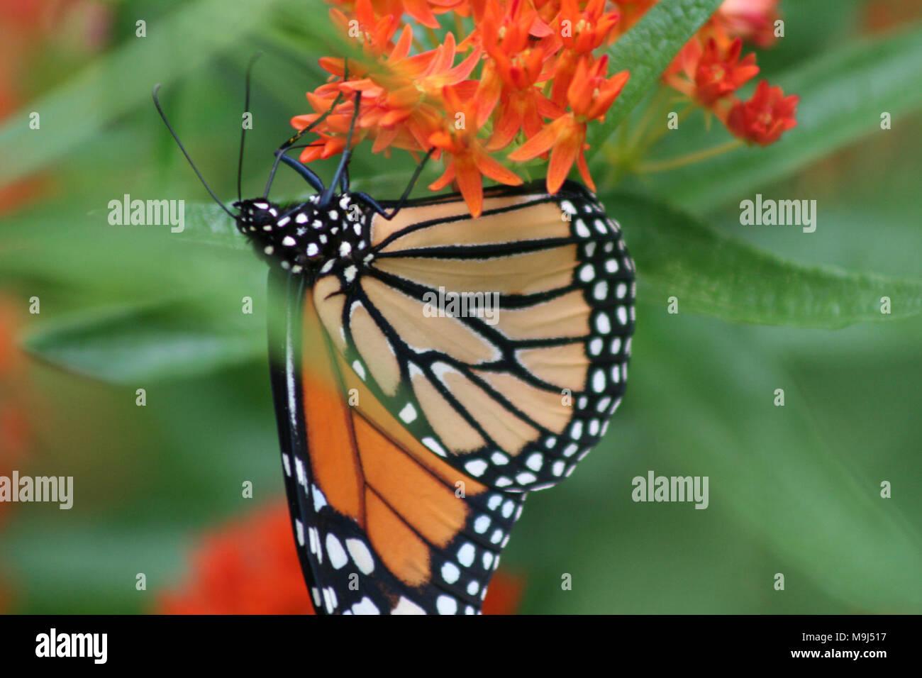 Nett Schmetterling Färbung Vorlage Zeitgenössisch - Beispiel ...