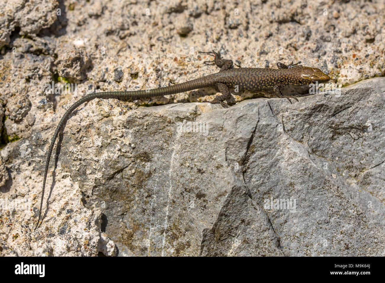 Griechische rock Lizard (Lacerta graeca) auf stein Wand Stockbild