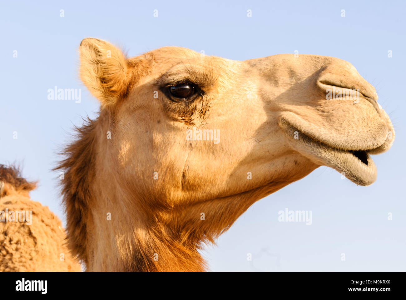Nahaufnahme von einem Kamel Nase und Mund, Nasenlöcher geschlossen um zu halten, sand Stockbild