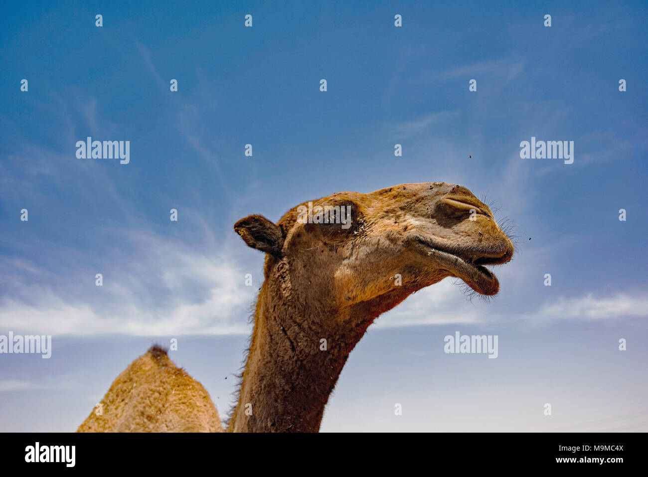 Close-ups der Kamele zum Verkauf in der Nähe von Riad, Saudi-Arabien. Stockbild