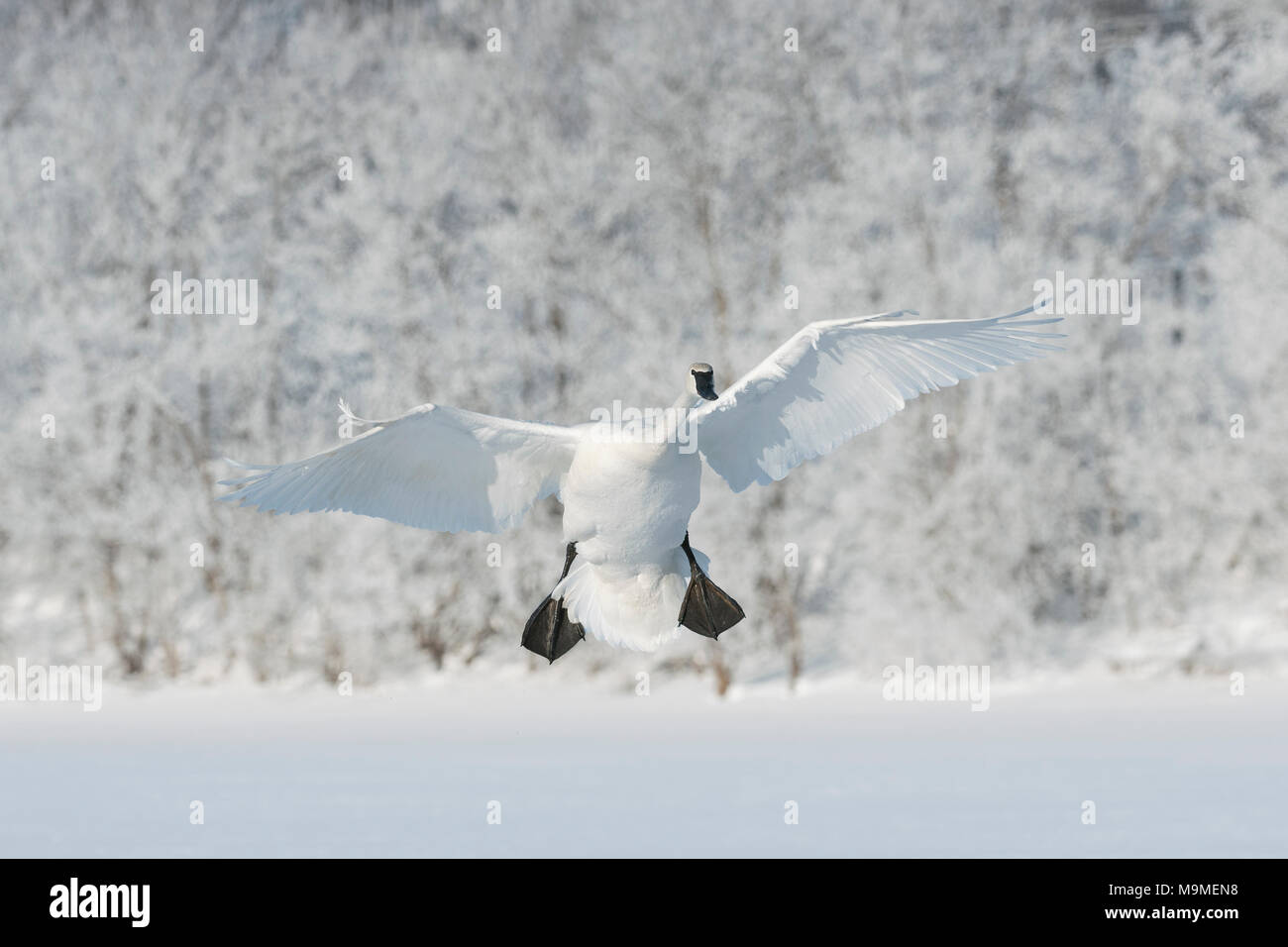 Ein trompeter Schwan (Cygnus buccinator) Landung auf dem gefrorenen St. Croix River, Hudson, WI, USA, Anfang Januar, von Dominique Braud/Dembinsky Foto Assoc Stockbild