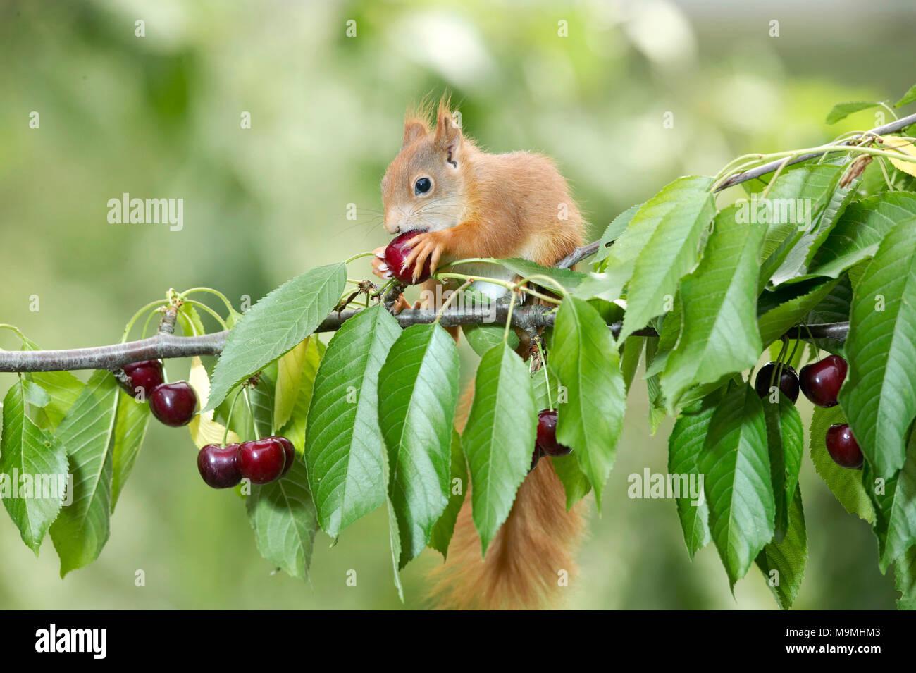 Europäisches Eichhörnchen (Sciurus vulgaris). Erwachsene Begleitperson eine Kirsche in einem Kirschbaum. Deutschland Stockbild