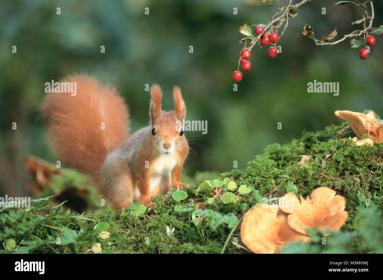 Europäisches Eichhörnchen (Sciurus vulgaris) neben Crataegus Beeren. Deutschland Stockbild
