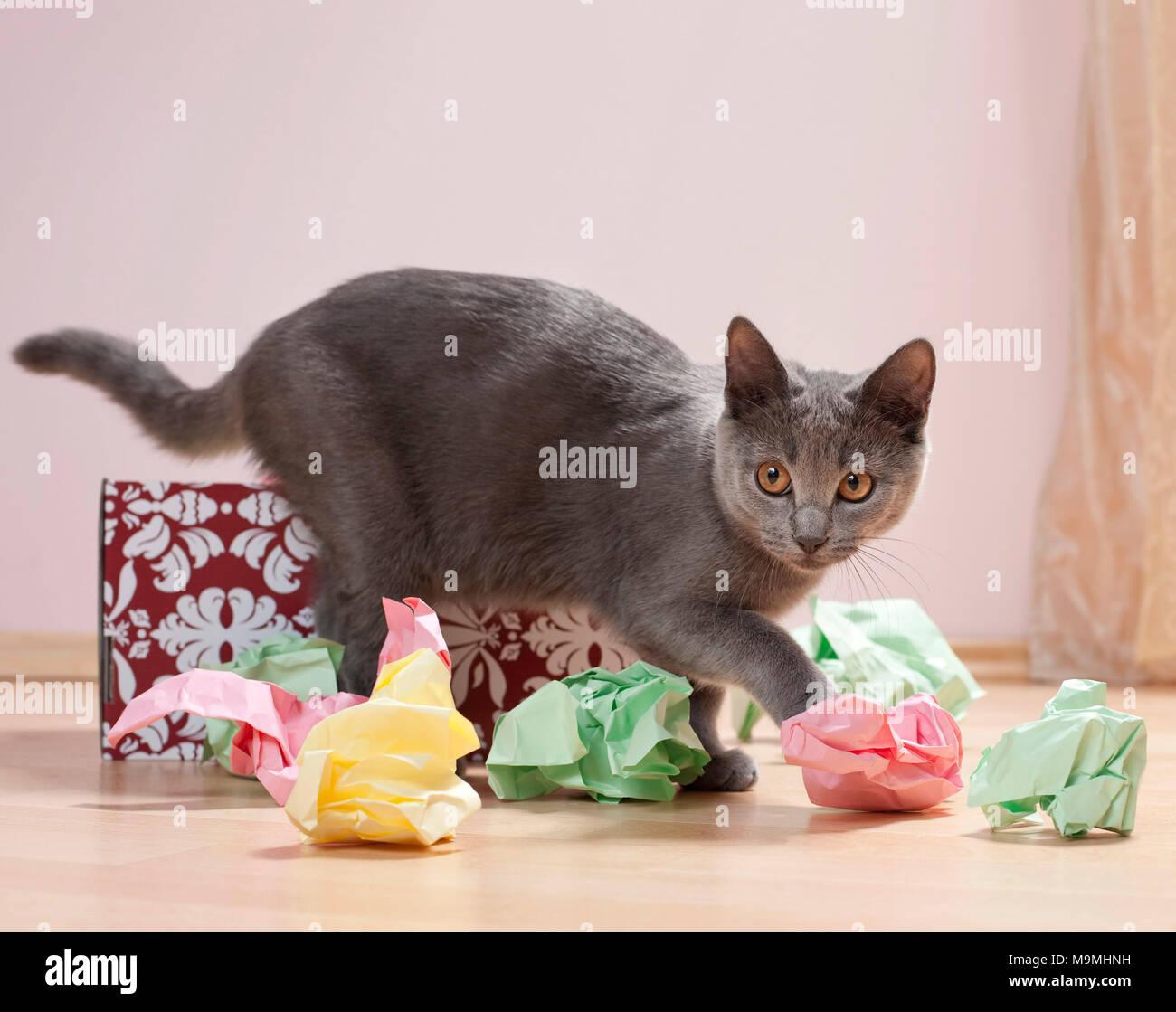 chartreux katze k tzchen spielen mit einer schachtel mit papier gef llt feines spielzeug f r. Black Bedroom Furniture Sets. Home Design Ideas