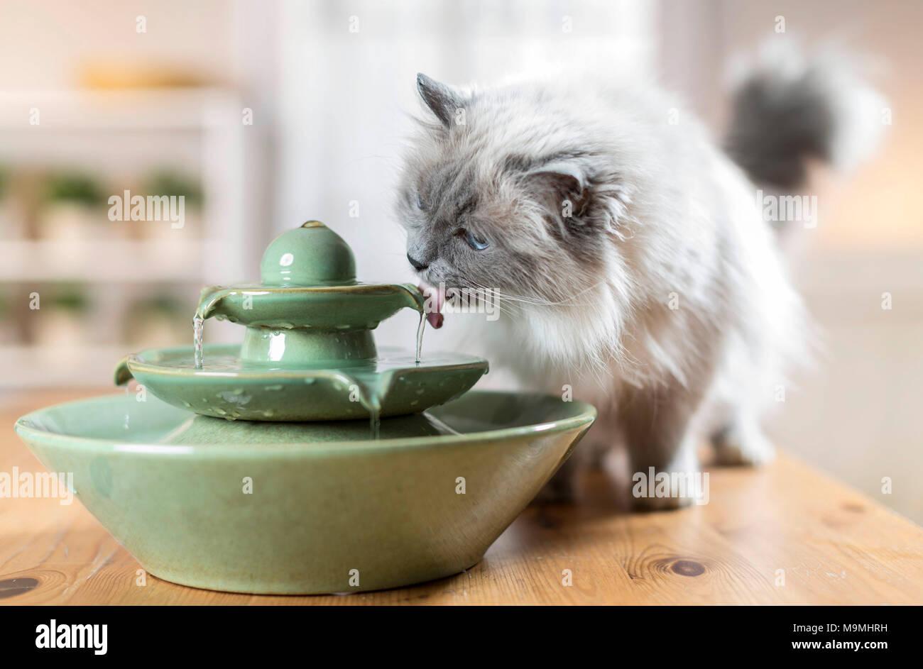Heilige Birma. Erwachsene Katze trinken aus einem Brunnen. Deutschland Stockbild