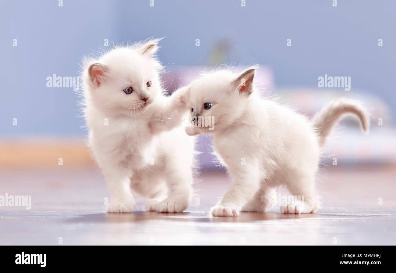 Heilige Birma Katze. Zwei Kätzchen (4 Wochen alt) spielen auf Parkett. Deutschland Stockbild