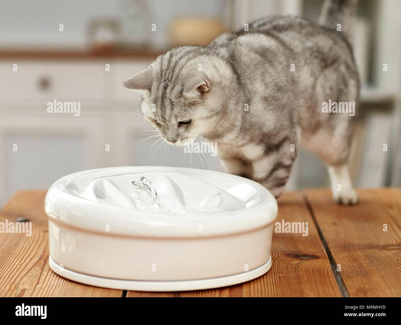 Hauskatze. Erwachsene Katze an Zimmerbrunnen suchen. Deutschland Stockbild