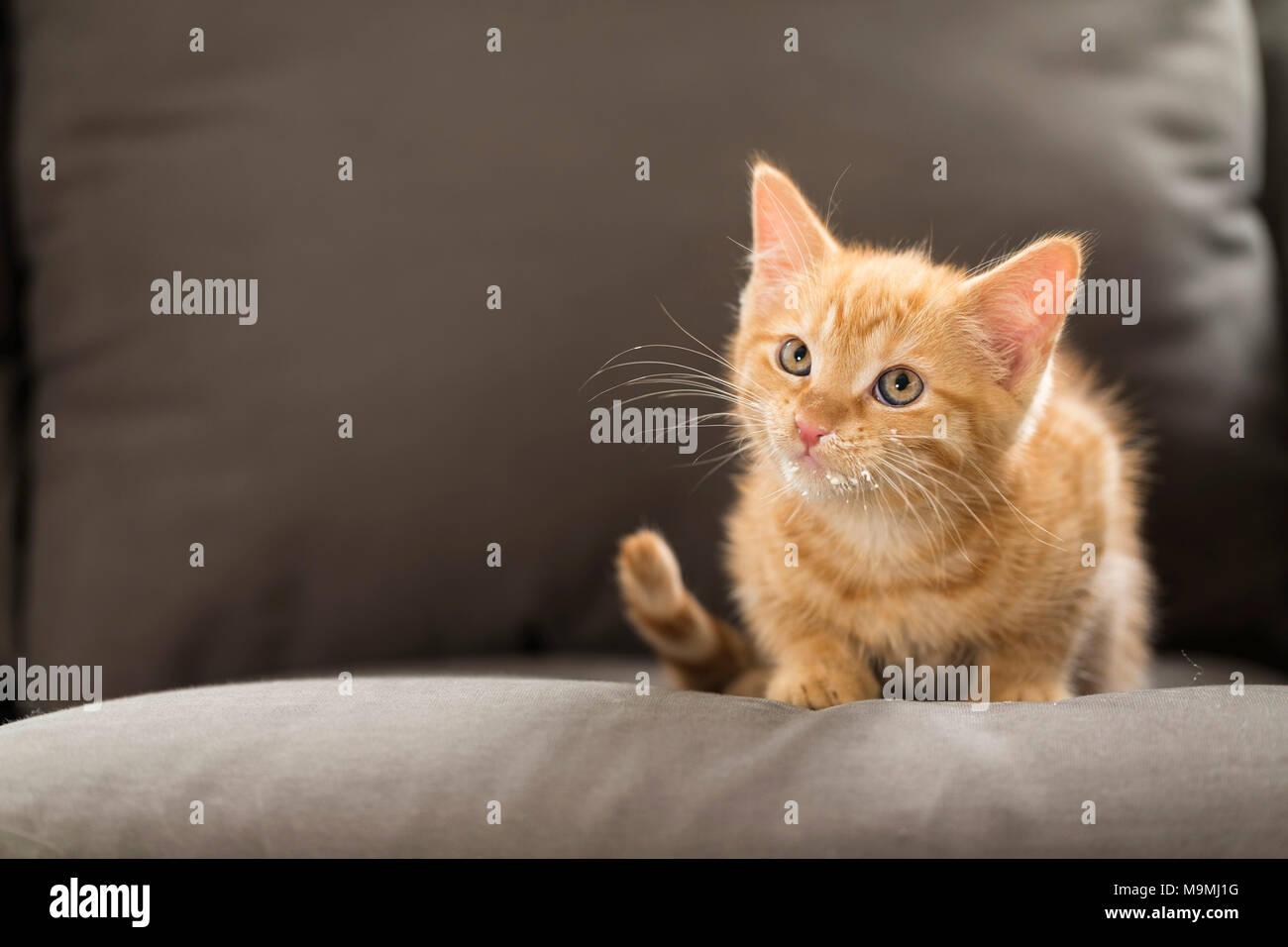 Hauskatze. Red Tabby Kitten mit Sahne um seinen Mund. Deutschland Stockbild