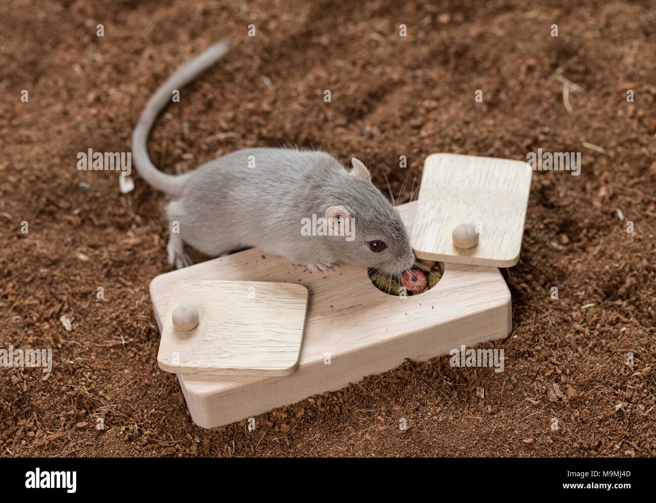 Häuslich Wüstenrennmaus (Meriones unguiculatus). Erwachsenen Spielzeug, das Essen los, wenn behandelt. Deutschland Stockbild
