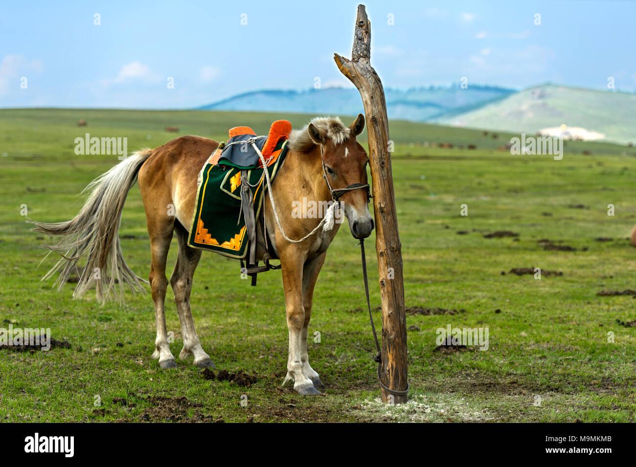 Ein gezügelten Pferd mit einem traditionellen Sattel ist an einer Stange in der Steppe gebunden, in der Nähe von Erdenet, Mongolei Stockbild