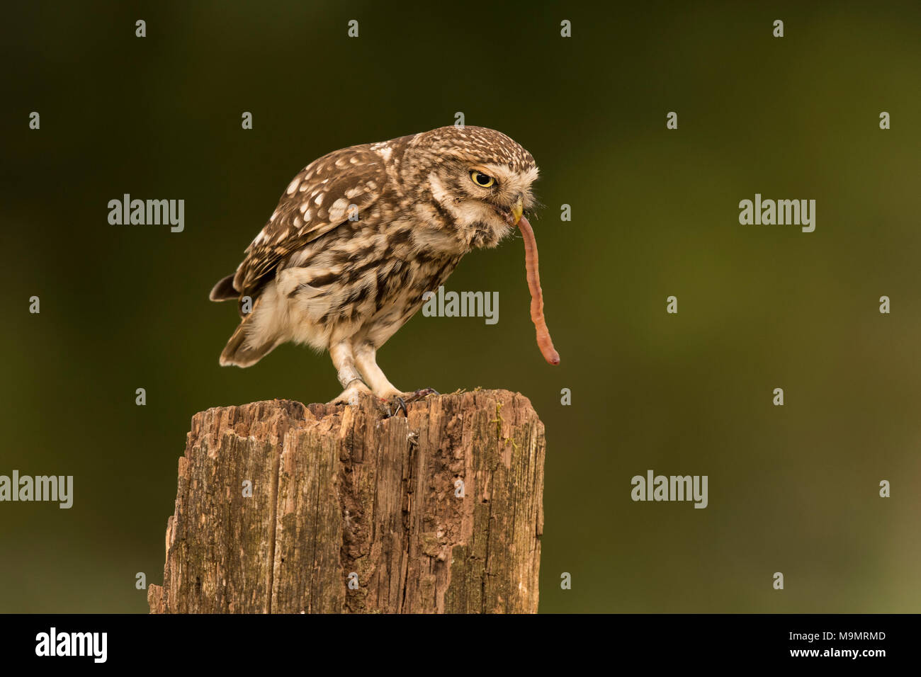 Steinkauz (Athene noctua), der Fütterung, der Regenwurm als Beute, Rheinland-Pfalz, Deutschland Stockbild