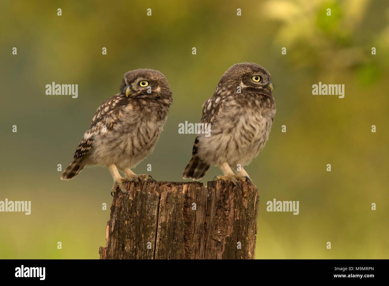 Steinkauz (Athene noctua), junge Vögel, Rheinland-Pfalz, Deutschland Stockbild