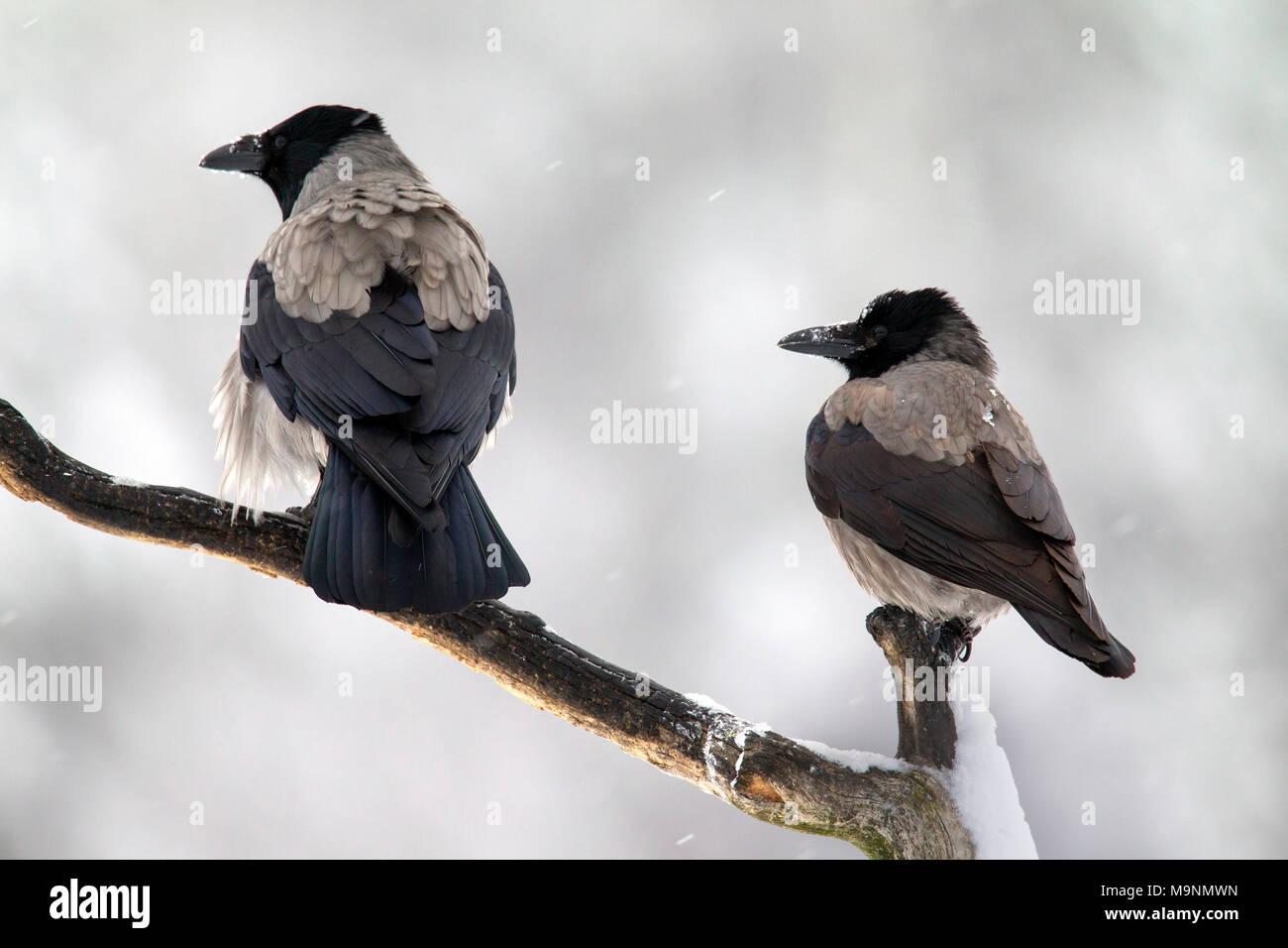 Zwei hooded Crows/Hoodies (Corvus cornix) auf Zweig im Winter bei Schneefall gehockt Stockbild