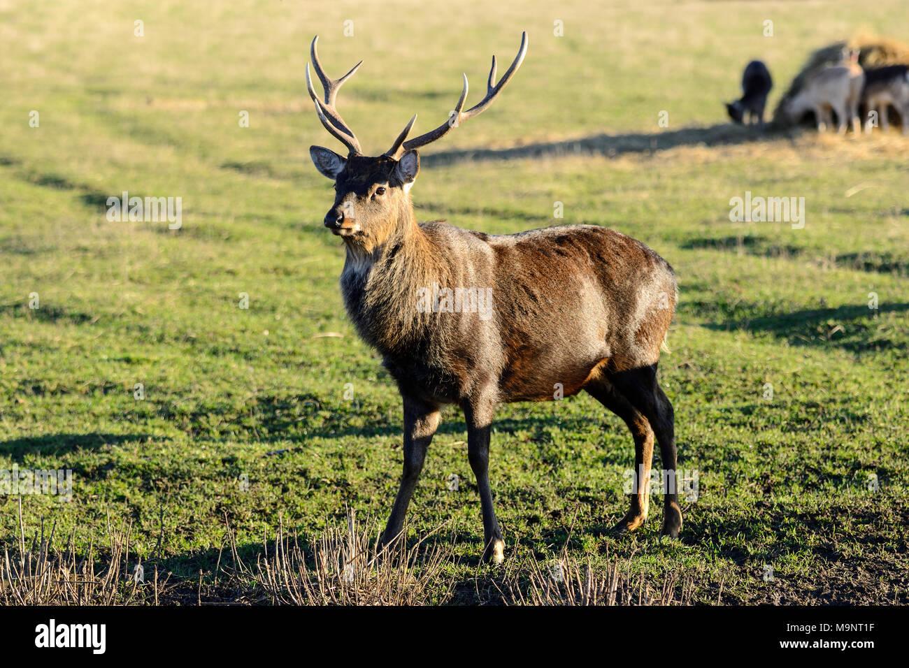 Sika deer Buck (Cervus Nippon) an der Schottischen Hirsch Center, Bug von Fife, Cupar, Schottland, Großbritannien Stockbild