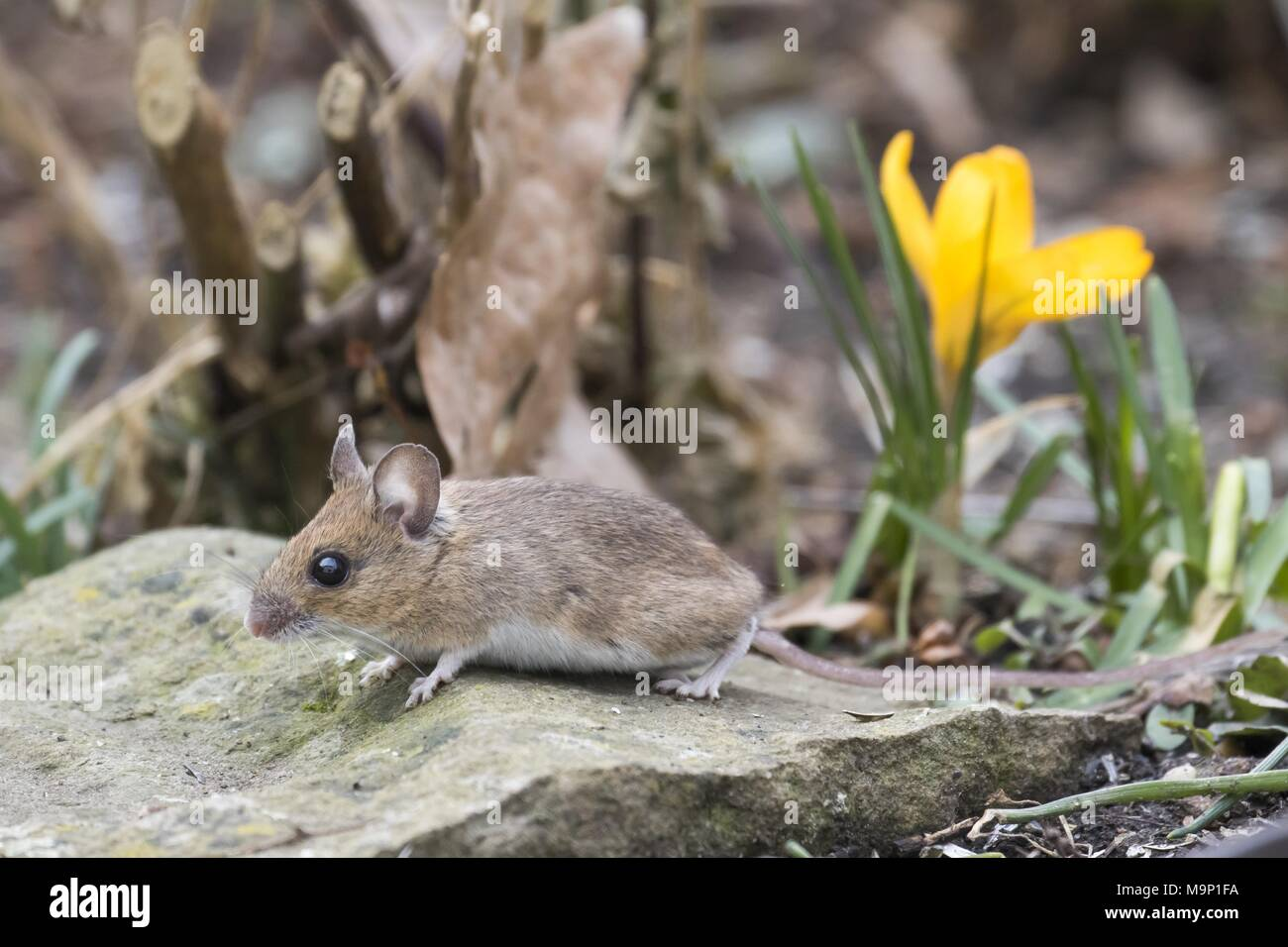 Gelb-necked Maus (Apodemus flavicollis), Hessen, Deutschland Stockbild