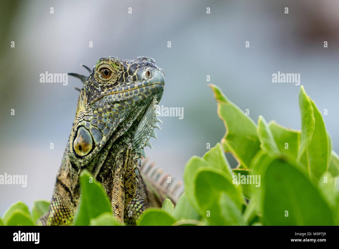 Lguanidae - Grand Cayman Stockbild
