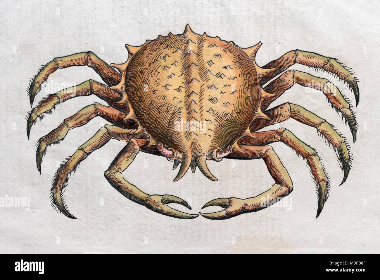Krabben (Brachyura), Hand - farbige Holzschnitt von Pietro Andrea Mattioli, 1570 Stockbild