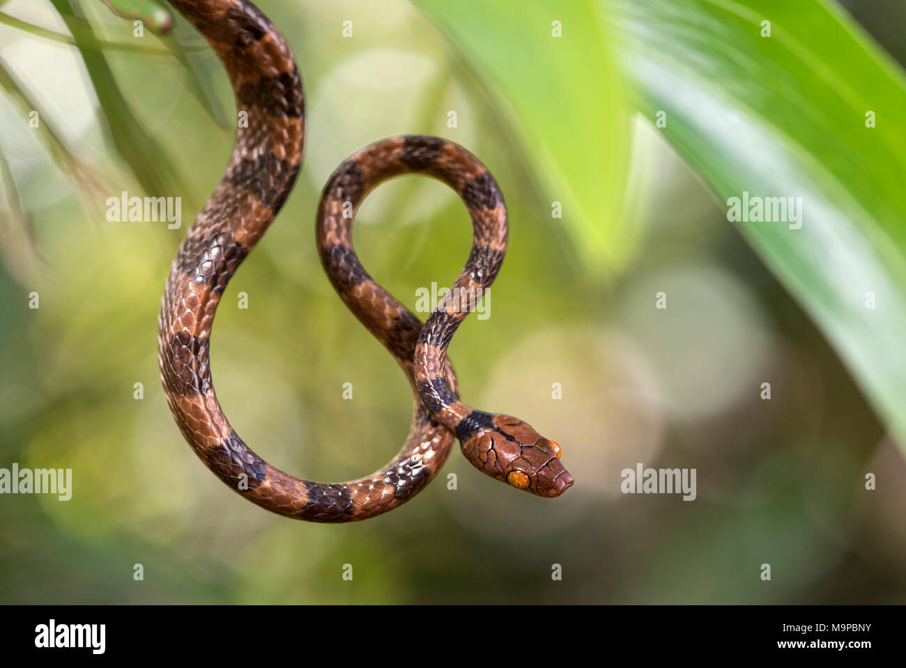 Tree Snake (Stenophis arctifasciatus), Ankanin Ny Nofy, Madagaskar Stockbild