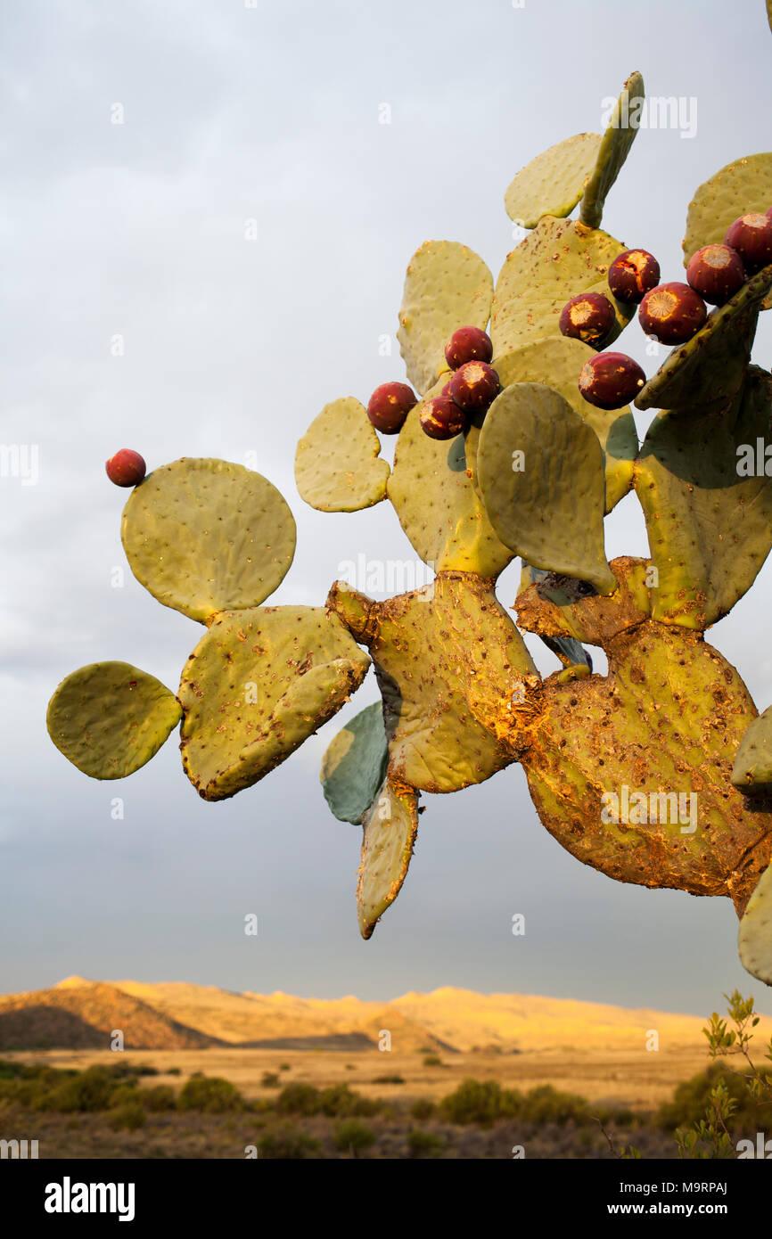 Die modifizierte Stengel oder kladodien der Feigenkaktus (Opuntia sp.) mit mehreren reife Beeren. Stockbild