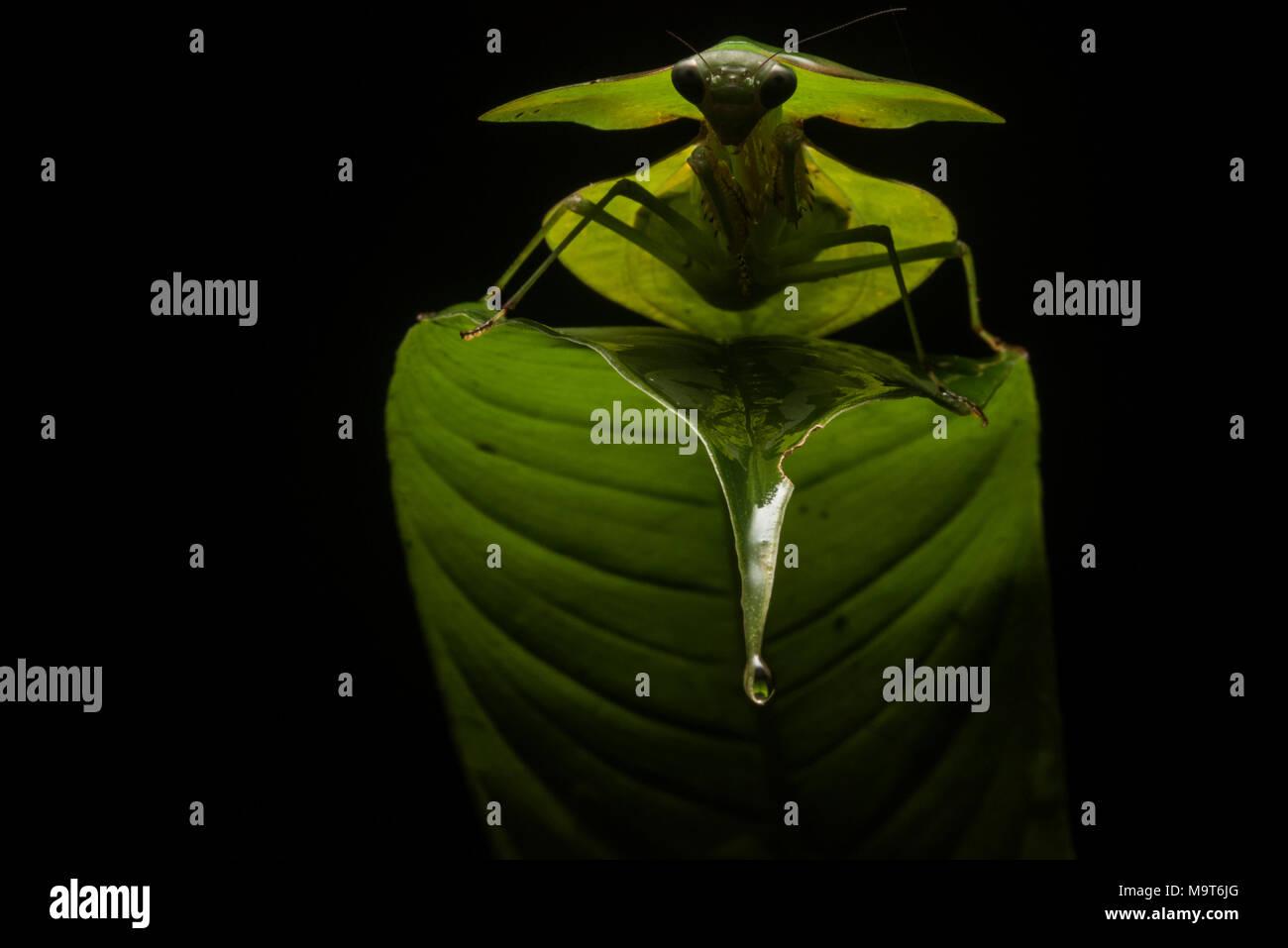 Eine peruanische Schild mantis sitzt auf einem Blatt im Dschungel, mit einem externen Blitz acheived einen coolen Hintergrundbeleuchtung Effekt, der die Mantis gemacht noch dramatischer. Stockbild