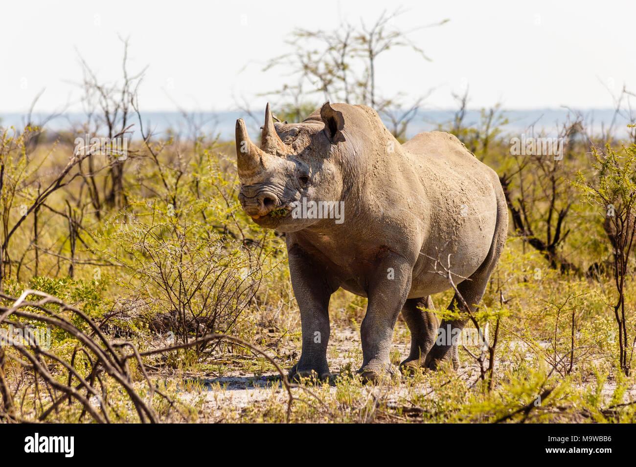 Weiss Nashorn, Rhinocerotidae), Etosha Nationalpark, Namibia Stockbild