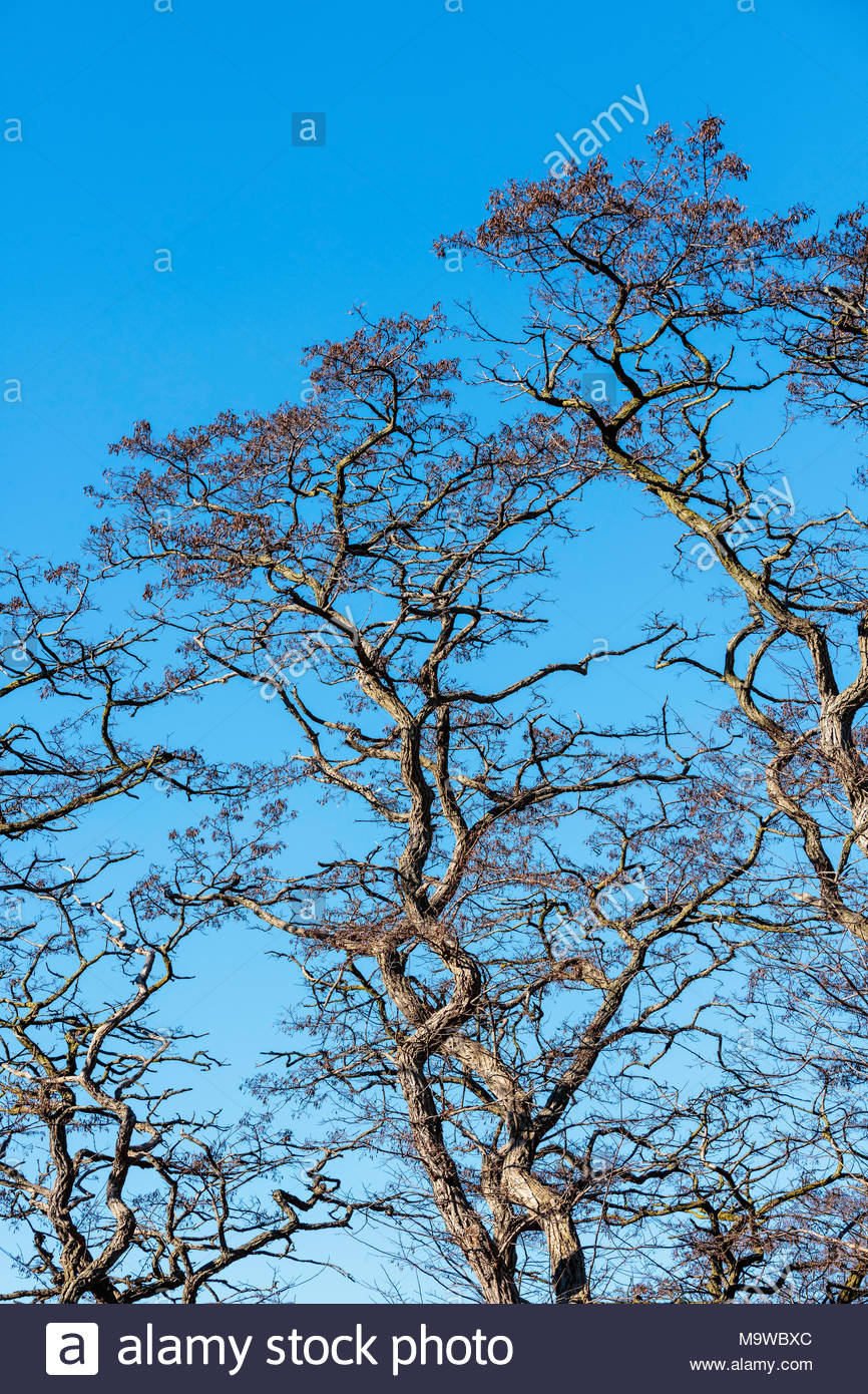 Robinie Pseuodoacacia Black Locust Tree verdrehte Äste vor blauem Himmel im Frühjahr in High Park Toronto Ontario Kanada. Stockfoto