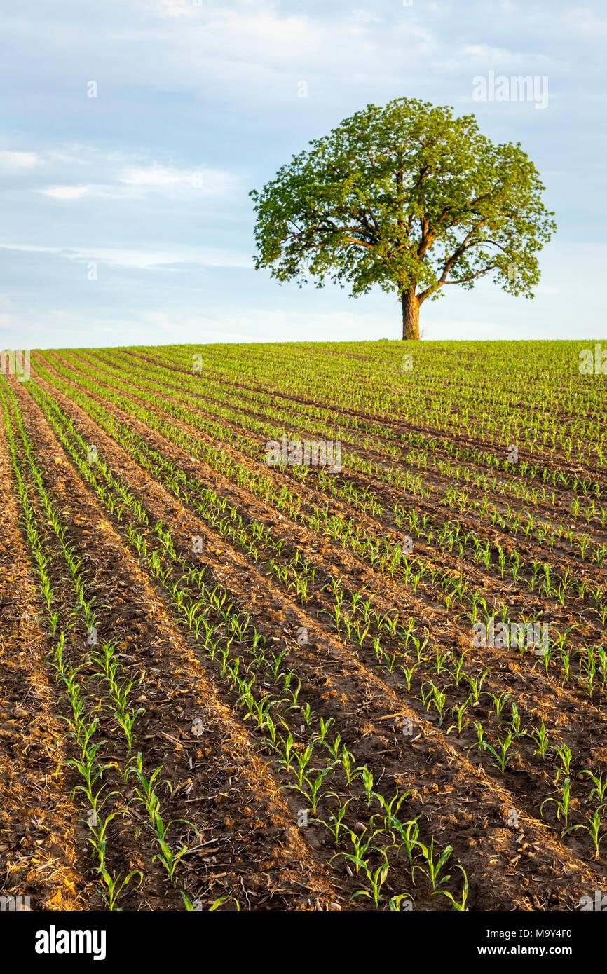 Ein Bauernhof Feld mit einer neuen Ernte von Mais wächst und Nußbaum. Stockbild