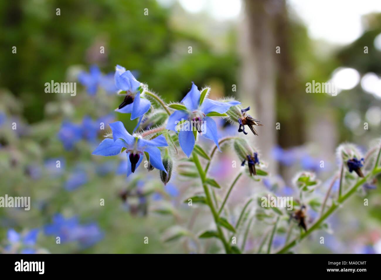 Violette Blumen, blau violett Blumen im Garten Stockfoto, Bild ...