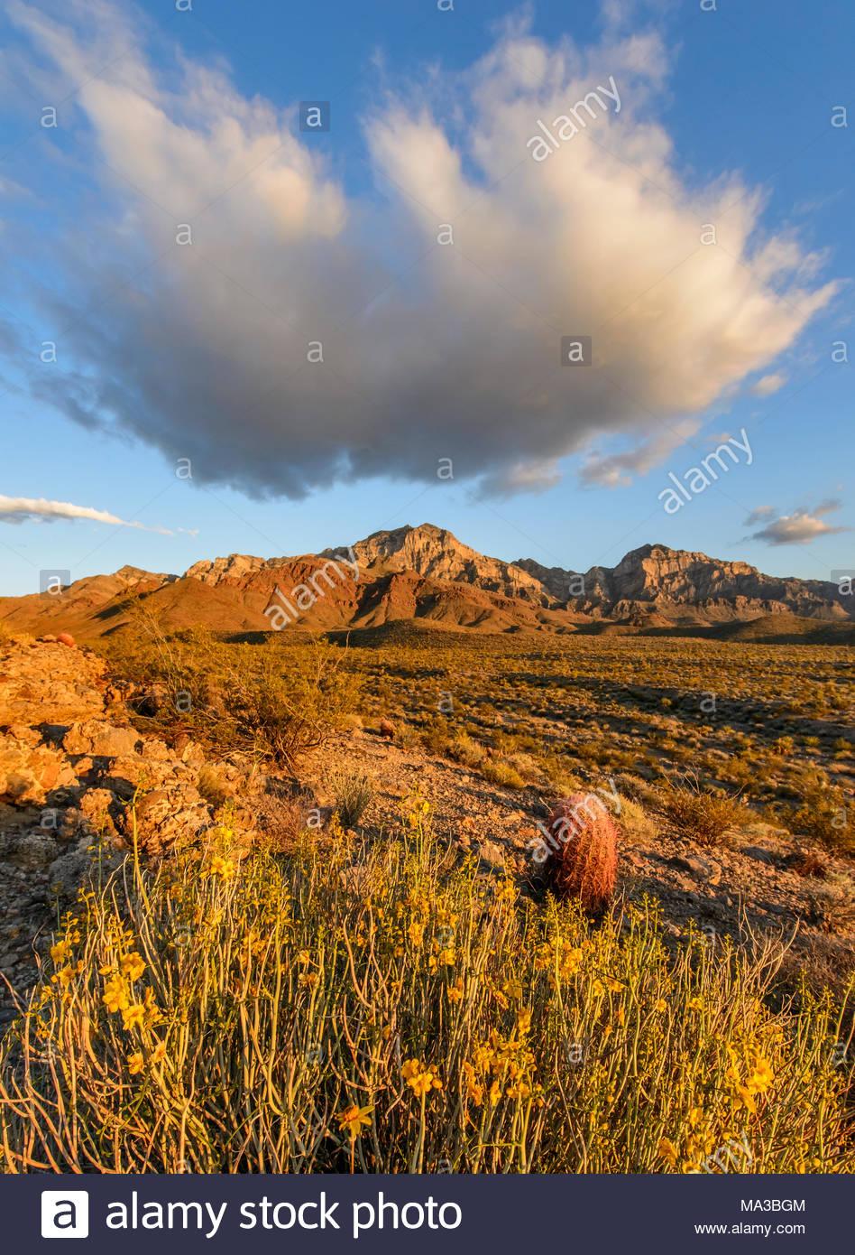 Wolkenbildung, Menodora und Barrel Cactus bei Sonnenuntergang, Mojave National Preserve, Kalifornien Stockbild