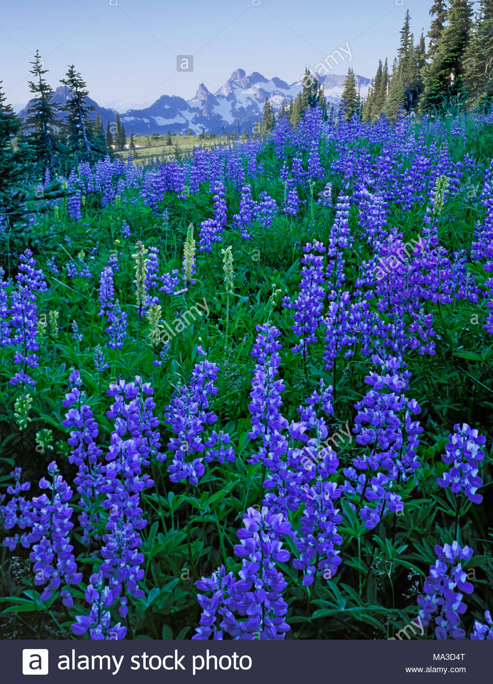 Wildblumen, Mount Rainier National Park, Washington Stockbild