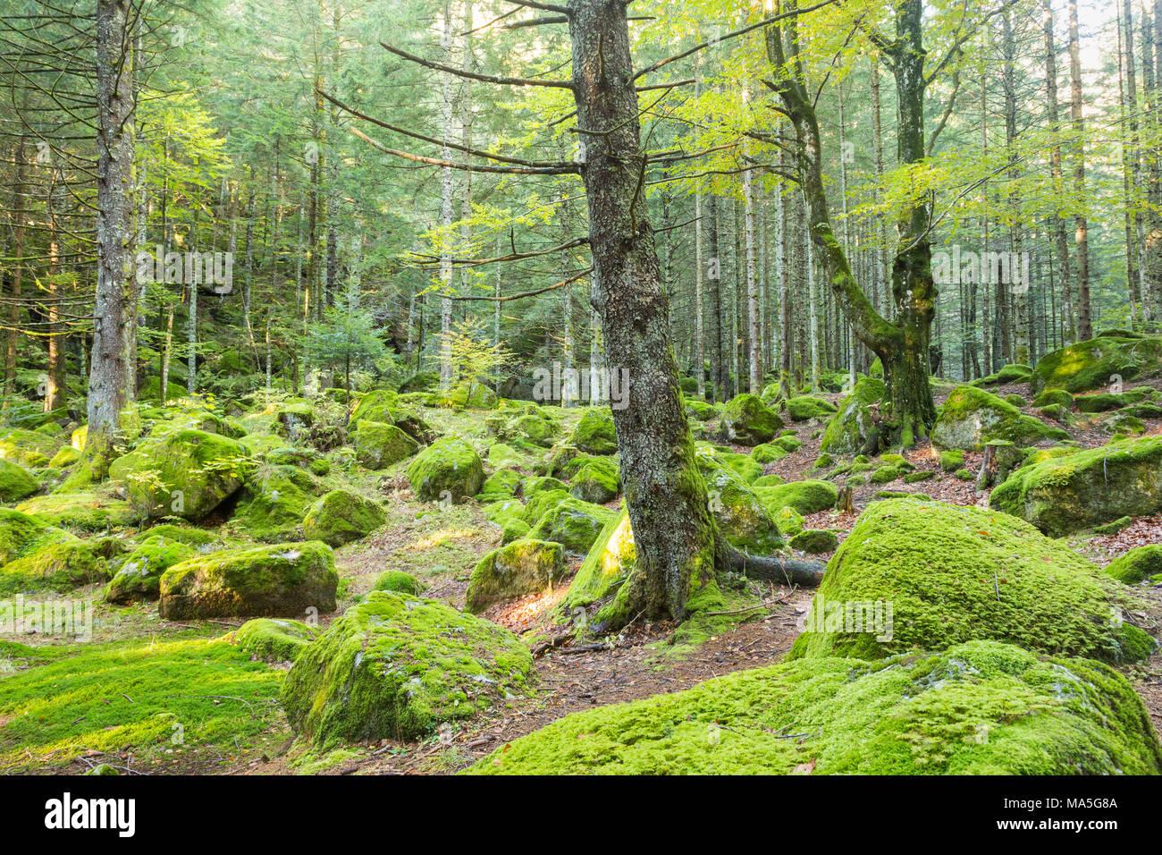 Das Moos in einem Wald von Bagni di Masino. Val Masino, Valtellina ...